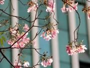 Tin tức trong ngày - Ảnh: Hoa kèn hồng trên phố Sài Gòn