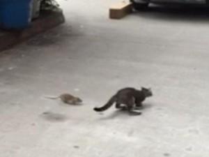 Thế giới - Video: Chuột tấn công, mèo sợ chạy trối chết