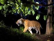 Bắc Kạn: Hổ hoang dã gây náo loạn khu dân cư