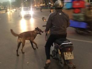 """Chó dữ """"ngông nghênh"""" đi lại khắp Thủ đô"""