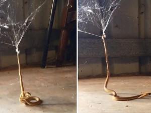 Thế giới - Úc: Rắn tuyệt vọng vùng vẫy thoát khỏi mạng nhện