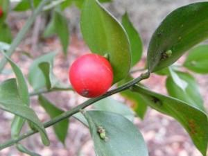 Phi thường - kỳ quặc - Kỳ lạ loài cây có quả mọc trên lá