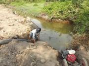 Tin tức trong ngày - Hạn mặn, dân cắt lúa cho bò ăn