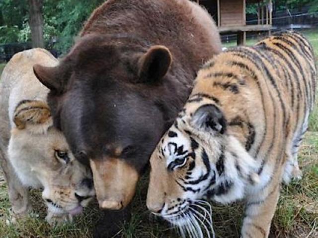 Bất ngờ tình bạn thân 15 năm giữa gấu, sư tử và hổ