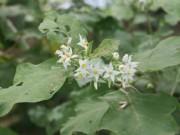 Tin tức trong ngày - Ăn hoa cà dại, 4 người ngộ độc