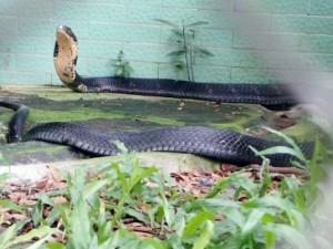 """Tin tức trong ngày - Tận thấy 4 con rắn hổ chúa """"khủng"""" nhất trại rắn miền Tây"""