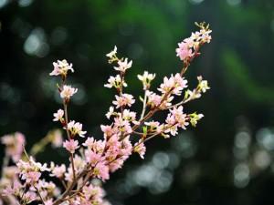 Tin tức trong ngày - Ngắm hoa anh đào Nhật Bản khoe sắc giữa Thủ đô
