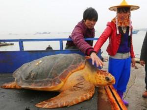 """Thế giới - Từ chối 1500USD, thả """"cụ rùa"""" khổng lồ trăm tuổi về biển"""