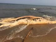 Tin tức trong ngày - Xác cá voi khổng lồ dạt vào bờ biển Quảng Bình