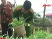 """Video An ninh - Phát hiện 2 gia đình trồng thuốc phiện """"sát Thủ Đô"""""""