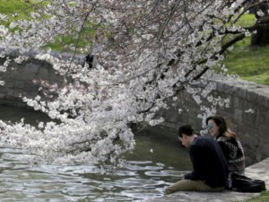 Thế giới - Hoa anh đào đua nở đẹp thơ mộng ở Washington