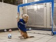 Clip: Chú chó bắt bóng như thủ môn chuyên nghiệp