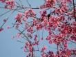 Mai anh đào tháng 3 vẫn nhuộm hồng Đà Lạt