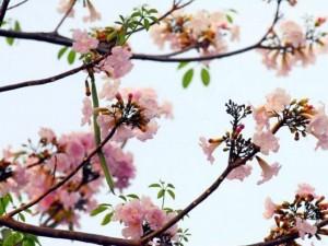Tin tức trong ngày - Ảnh: Xốn xang dưới chùm hoa kèn hồng trong nắng Sài Gòn