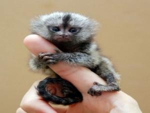 Phi thường - kỳ quặc - 5 loài khỉ kì lạ nhất thế giới