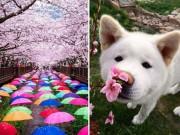 Du lịch - Ngắm Nhật Bản đẹp mê hoặc trong mùa hoa anh đào
