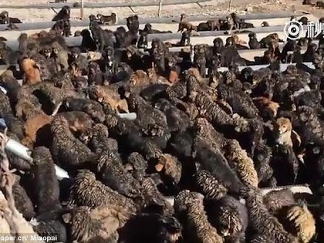 TQ: Chó ngao Tây Tạng kết đàn hùng hậu đi phá xóm làng - 3