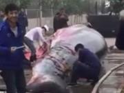 Thế giới - TQ: Xẻ thịt cá voi 8 tấn tại công ty để nhân viên ăn mừng