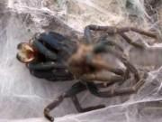 Phi thường - kỳ quặc - Kinh dị cảnh nhện khổng lồ quằn quại lột xác