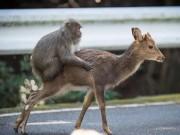 """Phi thường - kỳ quặc - Bắt gặp khỉ định làm """"chuyện ấy"""" với hươu ở Nhật"""