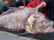 """Tin tức trong ngày - Chi 140 triệu, """"rước"""" cá hô khủng từ Campuchia về HN"""