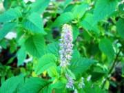 Việt Nam: Phát hiện nụ hoa kinh giới là vị thuốc quý chữa viêm xoang