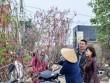 Đào Nhật Tân, quất Tứ Liên tấp nập từ vườn ra chợ