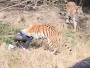 Thế giới - TQ: Du khách bị hổ vồ đến chết trong vườn thú