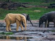 """Phi thường - kỳ quặc - Voi châu Phi bỗng hóa """"vàng"""" sau khi tắm bùn"""