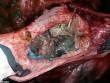 Na Uy: Phát hiện sự thật đau lòng khi mổ bụng cá voi