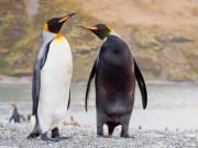"""Phi thường - kỳ quặc - Chim cánh cụt mắc bệnh lạ khiến da """"đổi trắng thay đen"""""""