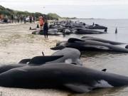 Vì sao sinh vật biển kích thước  khủng  dạt bờ hàng loạt?