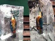 Thế giới - Lao xuống hồ lạnh cóng, chim bói cá đông cứng trong băng