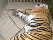 Thế giới - Bắt được con hổ chuyên ăn thịt người nằm võng ở Ấn Độ