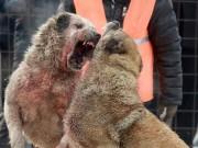 Thế giới - Chọi chó săn máu me đáng sợ ở Kyrgyzstan