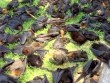 2.000 cáo bay rơi từ trên trời xuống đất ở Úc