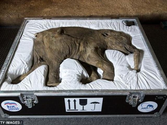 Vì sao hóa thạch voi ma mút đực tồn tại đến ngày nay, cái thì không? - 2