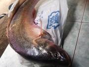 Cần thủ Sài Gòn câu được cá sủ vàng quý hiếm