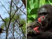 Thế giới - Băng nhóm tinh tinh săn lùng, xé xác khỉ rồi ăn sống