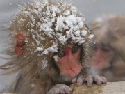 Vì môi trường, sở thú Nhật giết 57 khỉ tuyết
