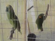 Phi thường - kỳ quặc - Sững sờ với chú vẹt biết hát luyến láy như ca sĩ nổi tiếng