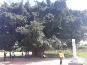 Tin tức trong ngày - Kỳ bí cây sanh cổ thụ hàng trăm tuổi ôm trọn ngôi miếu thiêng