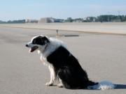 Chó chạy rông trên đường băng, phi công phải bay vòng chờ hạ cánh