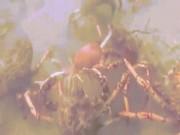 Thế giới - Video: Đội quân cua nhện xé xác bạch tuộc dưới đáy biển
