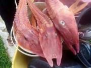 """Phi thường - kỳ quặc - Bắt được 3 cá """"bọc thép"""" màu cam kì lạ ở biển Australia"""