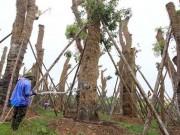 """Tin tức trong ngày - HN: """"Cụ cây"""" Kim Mã đâm chồi, ra tán sau 4 tháng di dời"""
