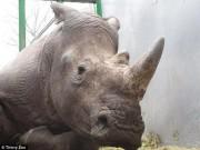 Thế giới - Lẻn vào vườn thú Pháp, bắn hạ tê giác rồi cưa sừng
