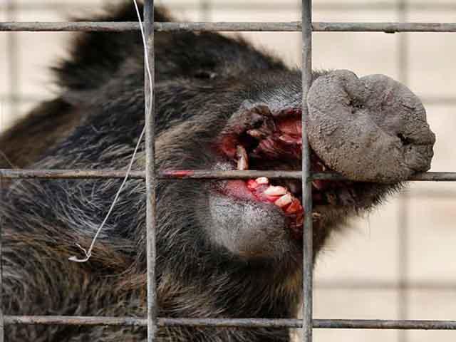 TQ: Lợn rừng đến tận nhà tấn công, người đàn ông thiệt mạng - 1