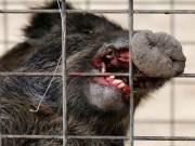Thế giới - Đàn lợn rừng nhiễm phóng xạ đe dọa người dân Nhật Bản