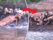 Thế giới - Đàn chó hoang khát máu, xé xác linh dương chớp nhoáng